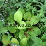 Hosta «fortunei Aurea»